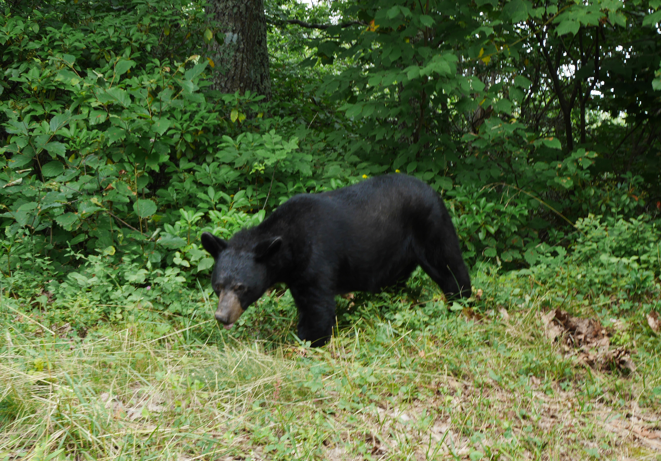 Bear in Shenandoah
